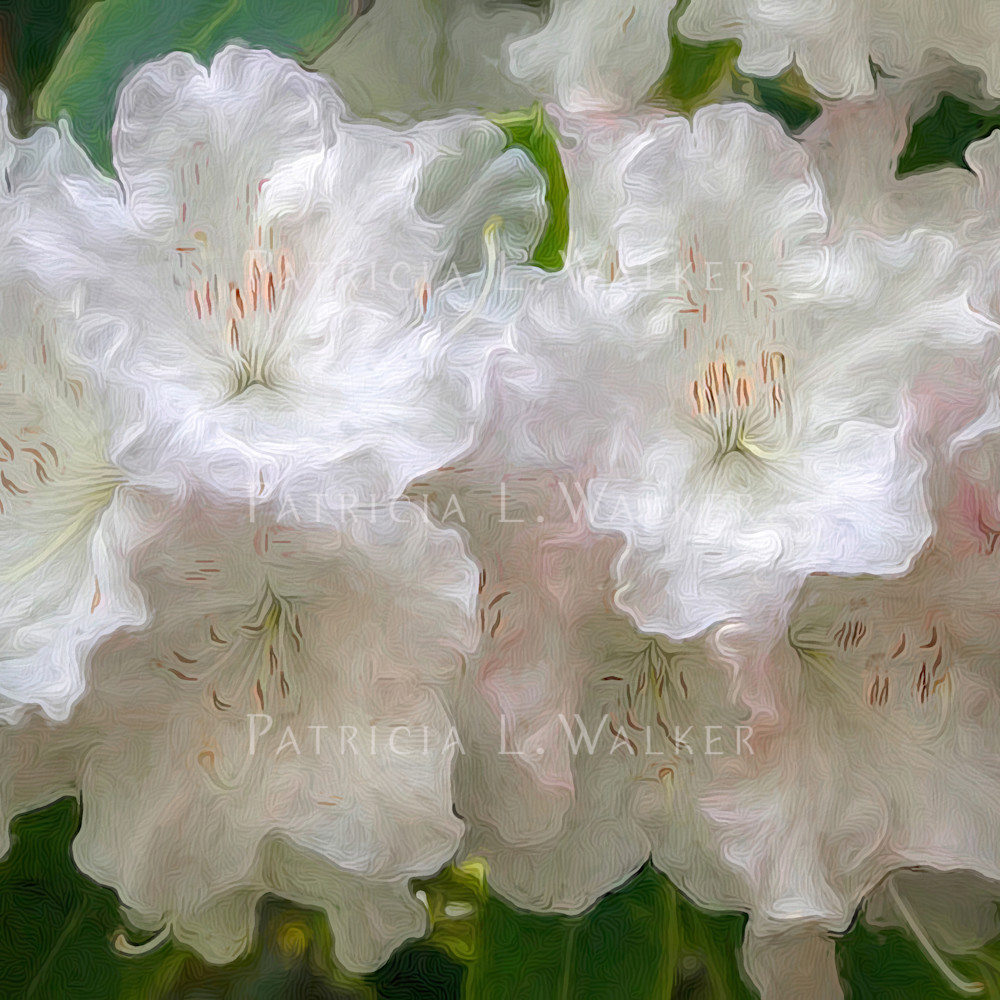 White rhodies ft66bh