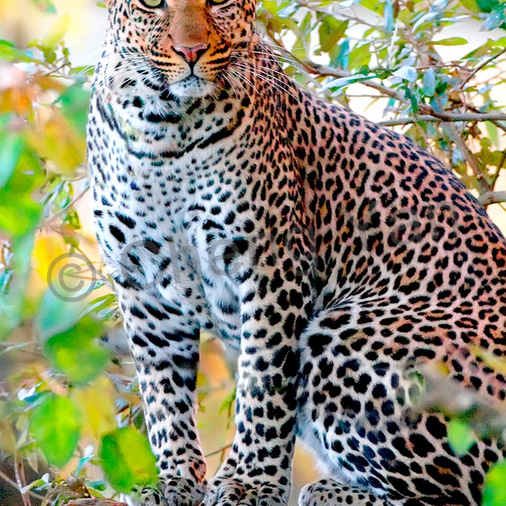 Leopards 002 vwfoqm