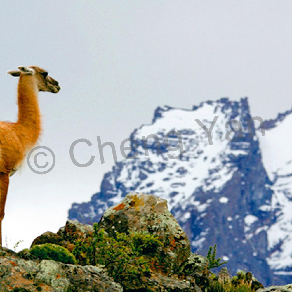 Llama 001 akbwdh