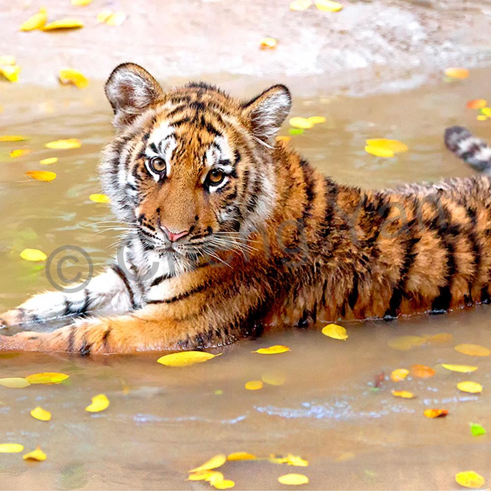 Tigers 011 ek7dpo