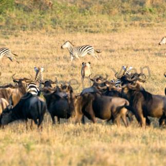 Buffalos and wild beasts 014 f812ak
