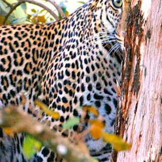 Leopards 004 dzi58e