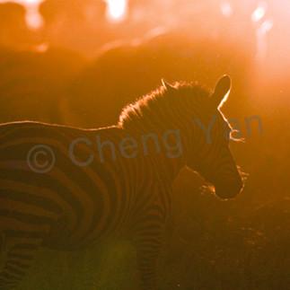 Zebras 011 kg32r1