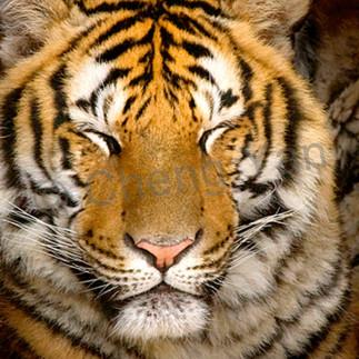 Tigers 099 ybiui9