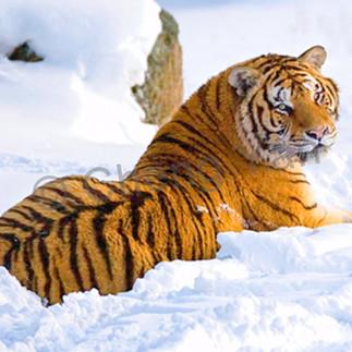 Tigers 102 gsnndz