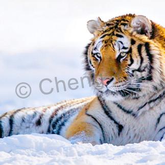 Tigers 103 yg3hn8