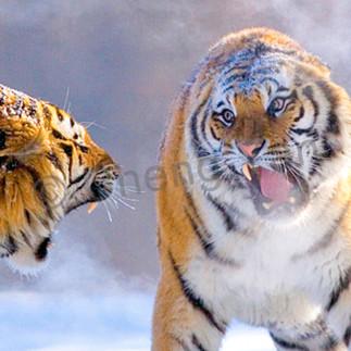 Tigers 105 gnnd6k