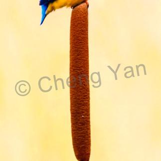 Kingfishers 056 ezoo0v