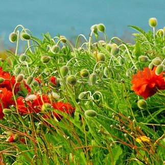 Flowers and plants 006 tunflj
