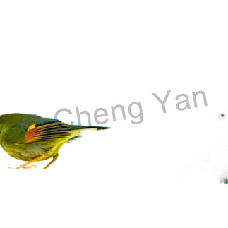 Pekin robins and chinese birds 004 k6kbge