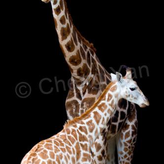 Giraffes 005 xhnwns