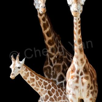 Giraffes 006 d2tday