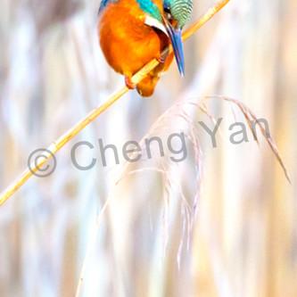 Kingfishers 055 auql5k