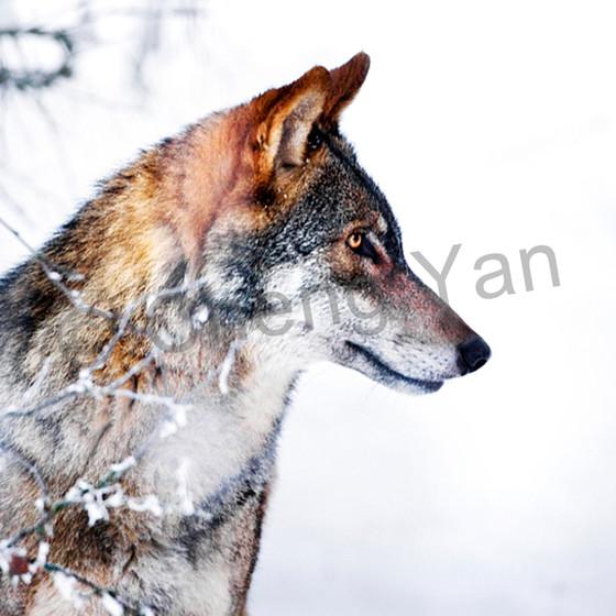 Wolves 019 wkx2sg