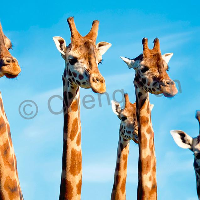 Giraffes 010 at8nms