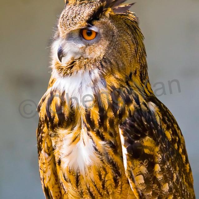 Owls 004 rzgydi