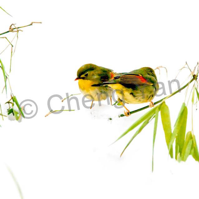 Pekin robins and chinese birds 010 ef2el2