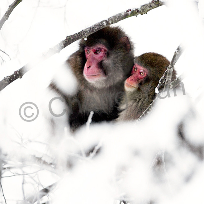 Japanese macaques 011 map58u