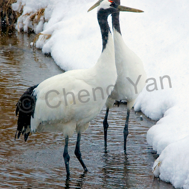 Red crowned cranes 032 o4b4fs