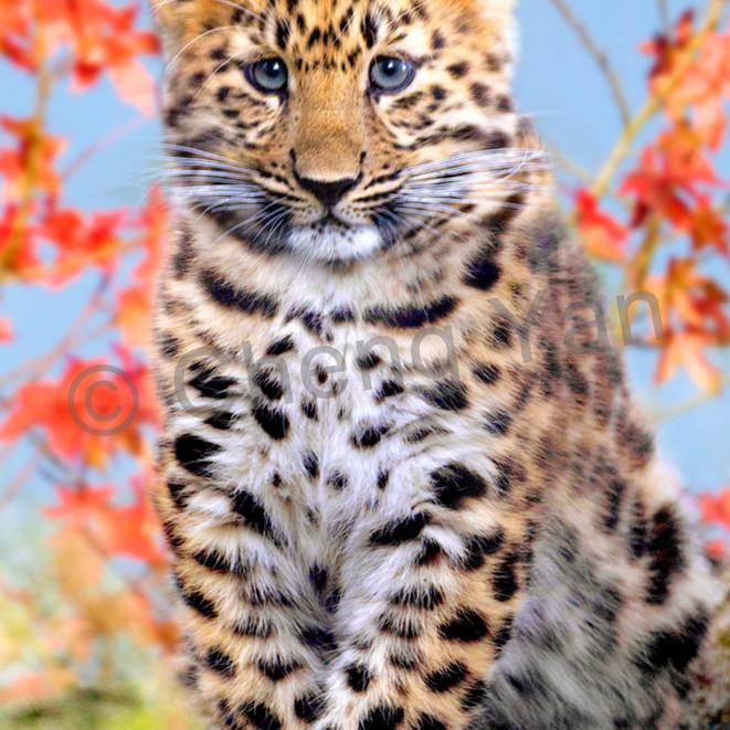 Amur leopards 006 gqbpok