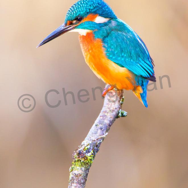 Kingfishers 003 hrqbgx