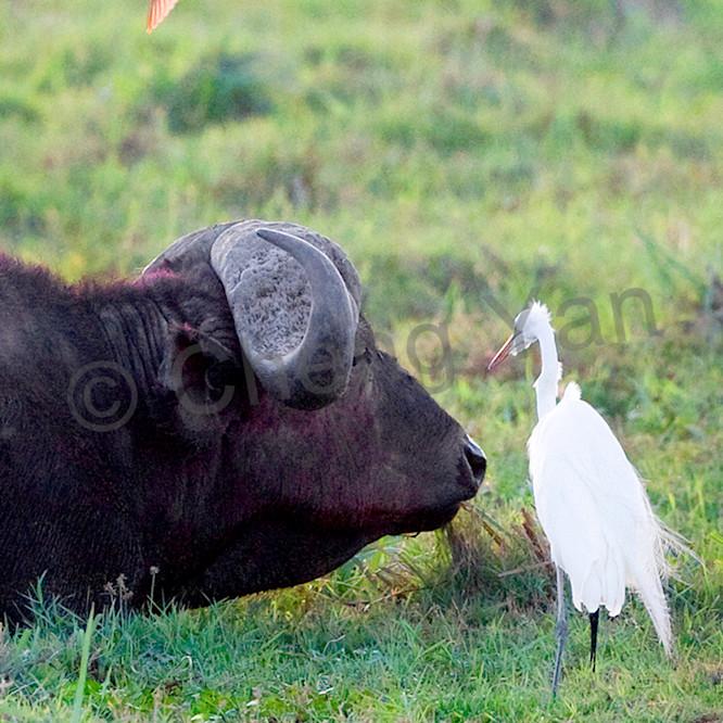 Buffalos and wild beasts 006 gq4loc