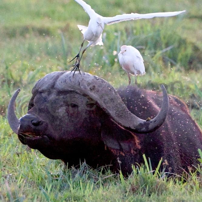 Buffalos and wild beasts 004 hz5ilm