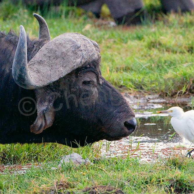 Buffalos and wild beasts 002 rl9vq4