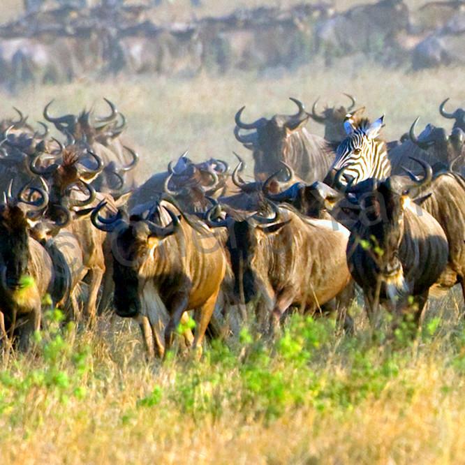 Buffalos and wild beasts 009 dig53u