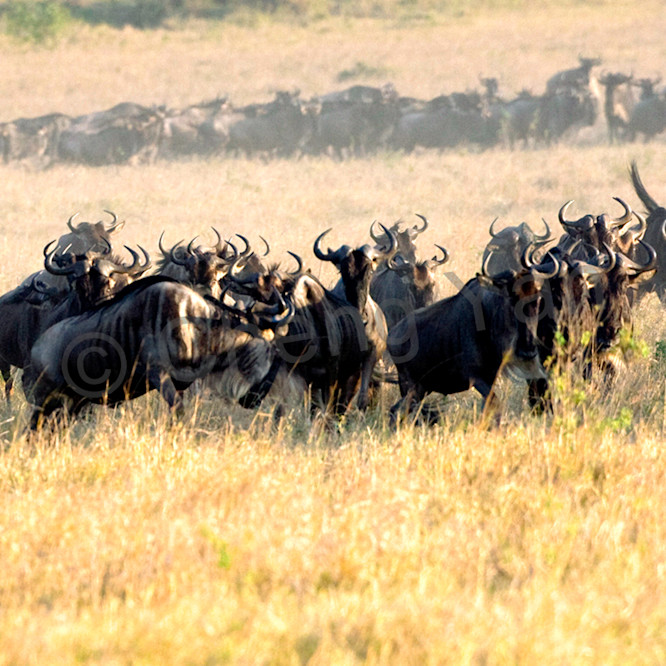 Buffalos and wild beasts 010 cm9r3o