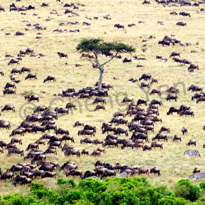 Buffalos and wild beasts 012 m7rjzz