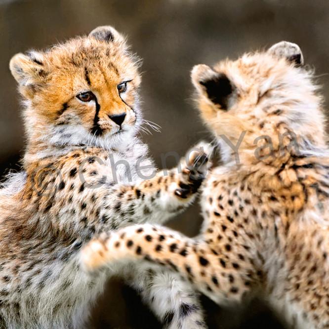 Cheetahs 002 xtee8l