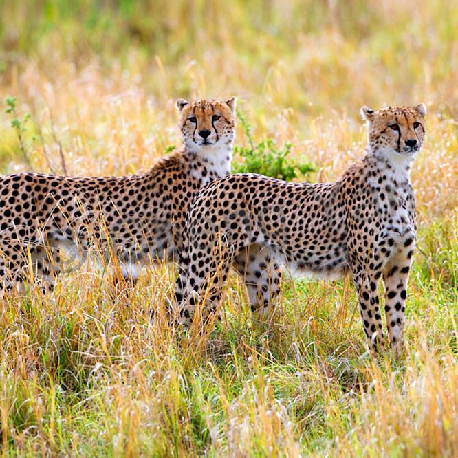 Cheetahs 004 jouhx1