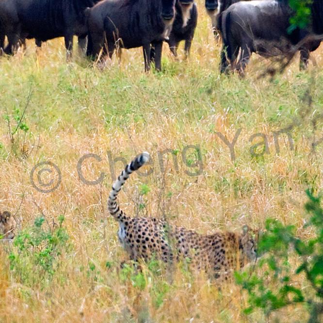 Cheetahs 010 ws4cfx