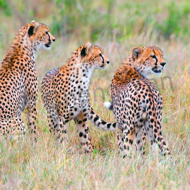Cheetahs 013 sbm9ie