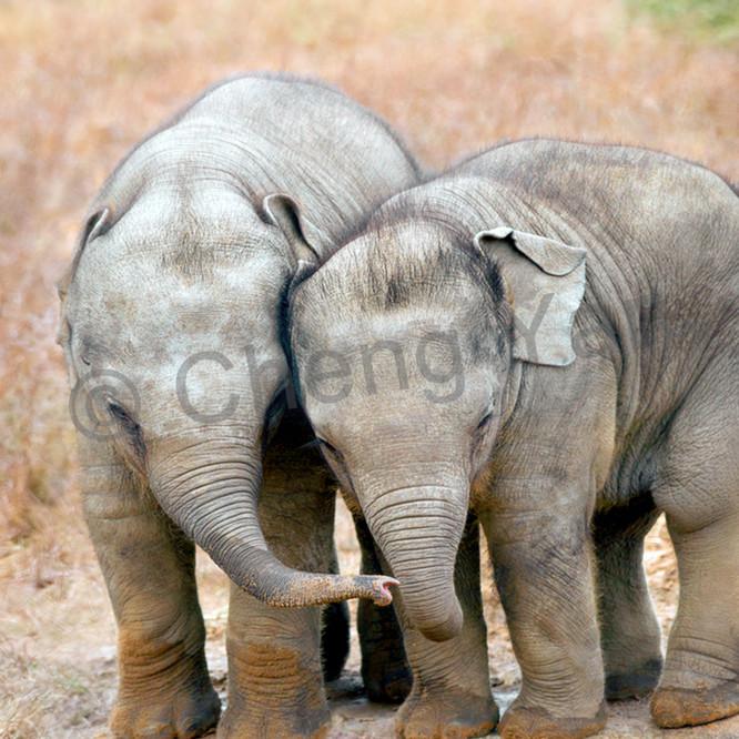 Elephants 002 kcb9sz