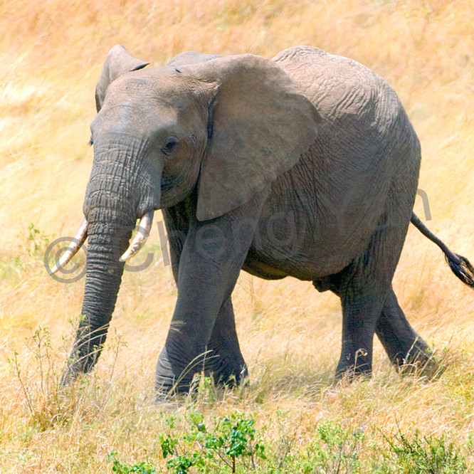 Elephants 016 b87t9m