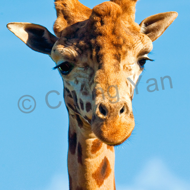 Giraffes 007 drblvi