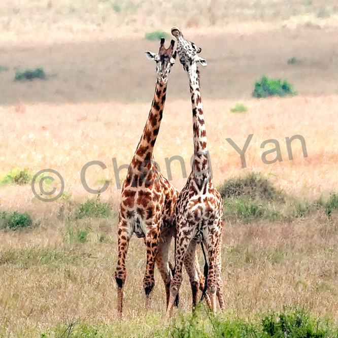 Giraffes 008 hdftnv