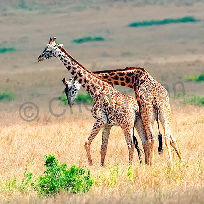Giraffes 011 ptvfdc