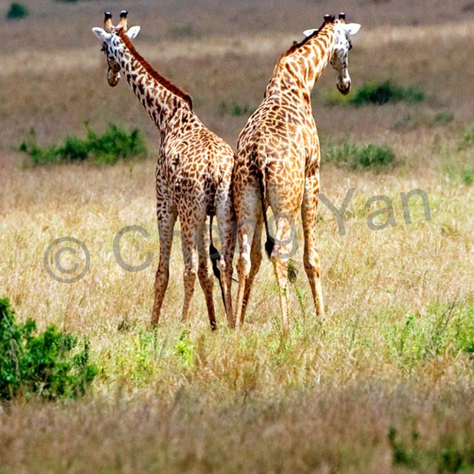 Giraffes 009 uqltye