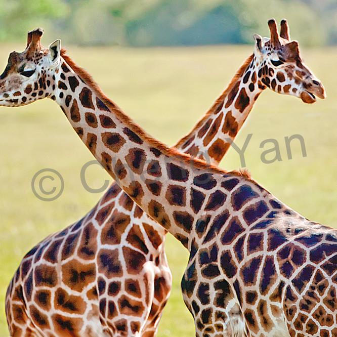 Giraffes 013 ejhlql