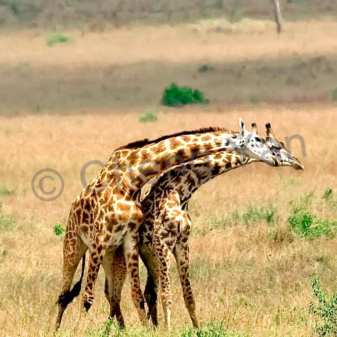 Giraffes 015 jh3u2v