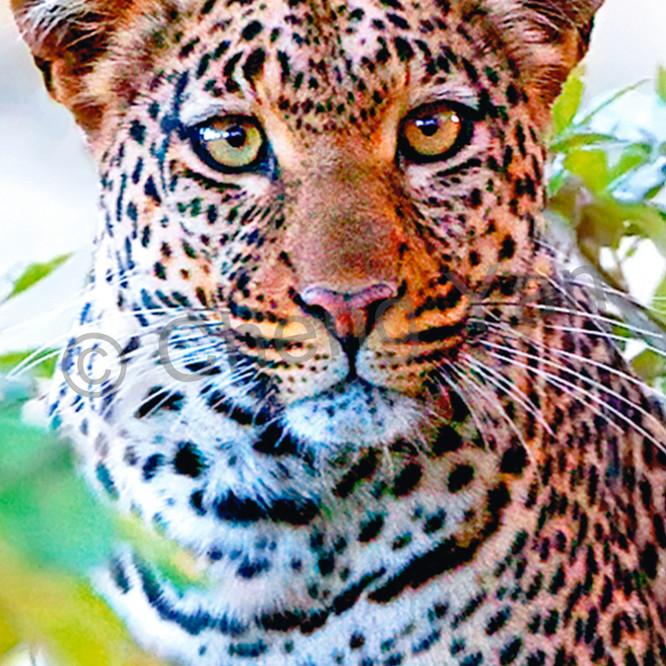 Leopards 001 udrkhj