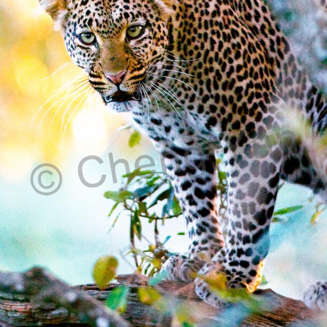 Leopards 005 ehovmk