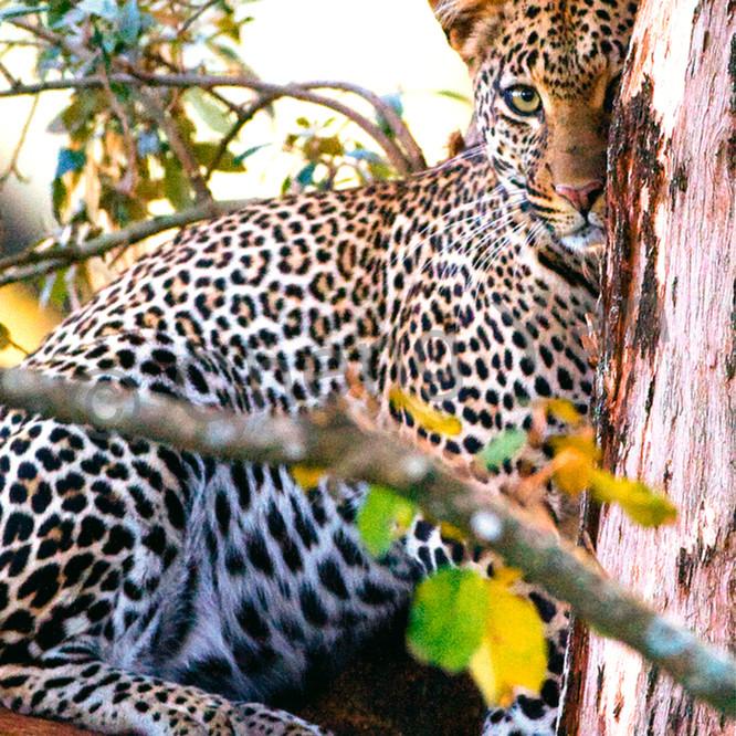 Leopards 006 bobazd