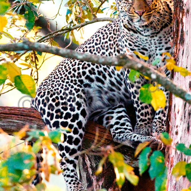 Leopards 003 j9lomd