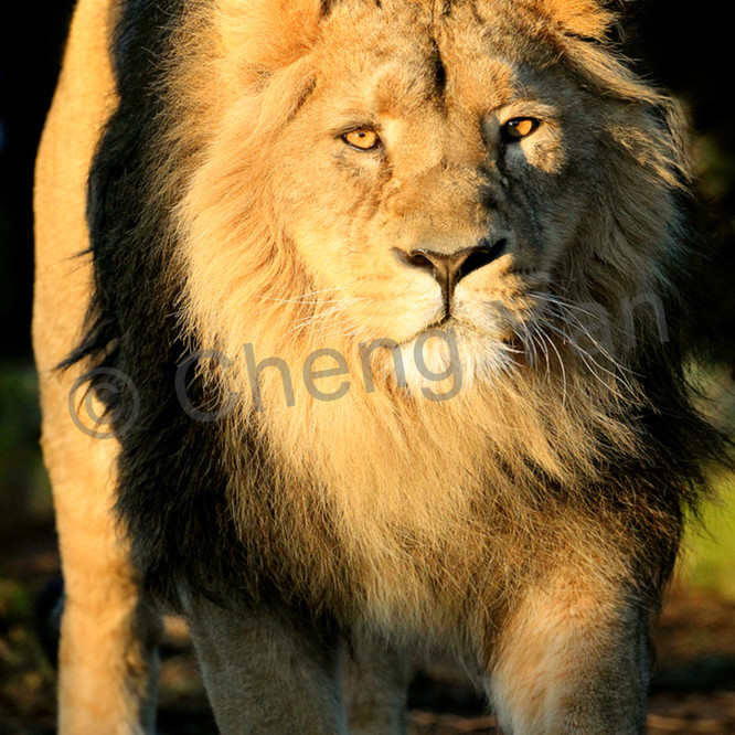 Lions 005 tyutko