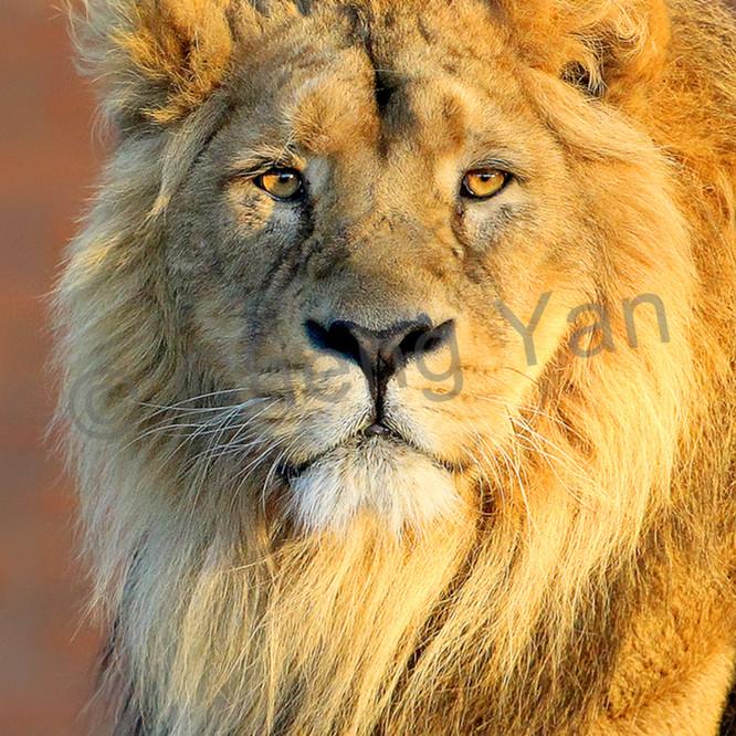 Lions 003 gcwrw4
