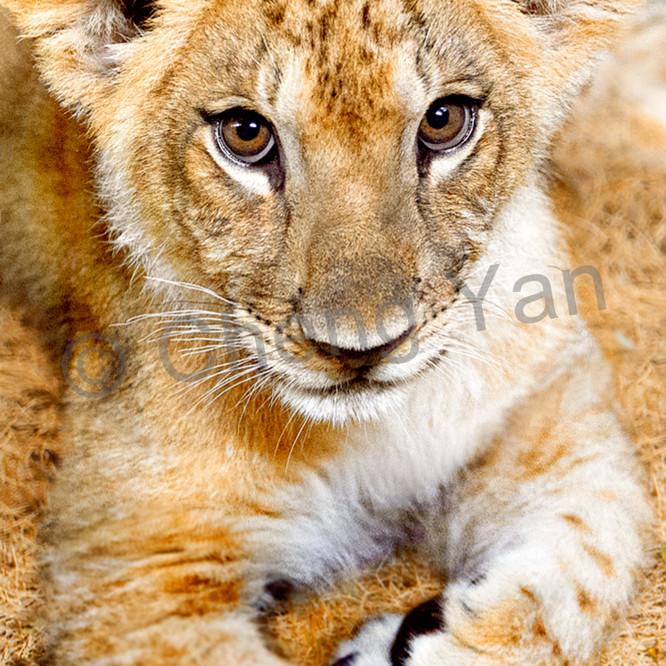 Lions 007 r06lhq